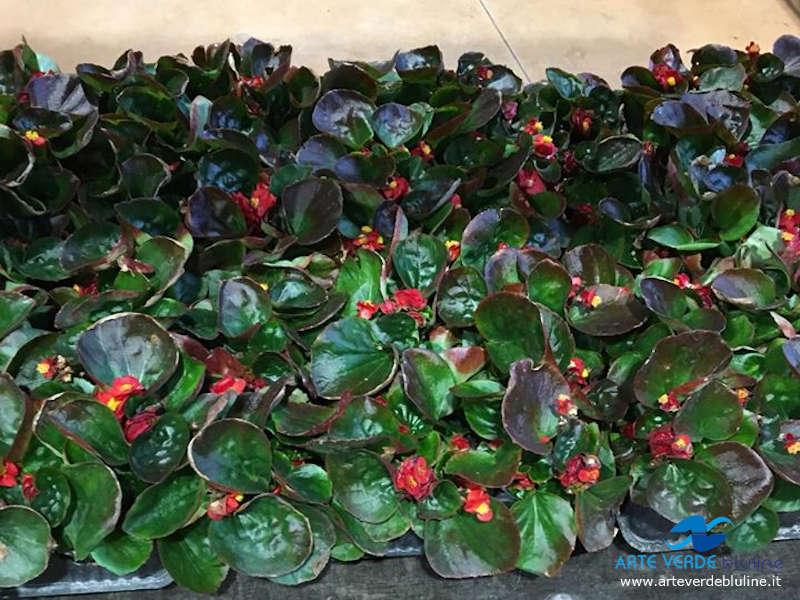 Begonia (annuali)