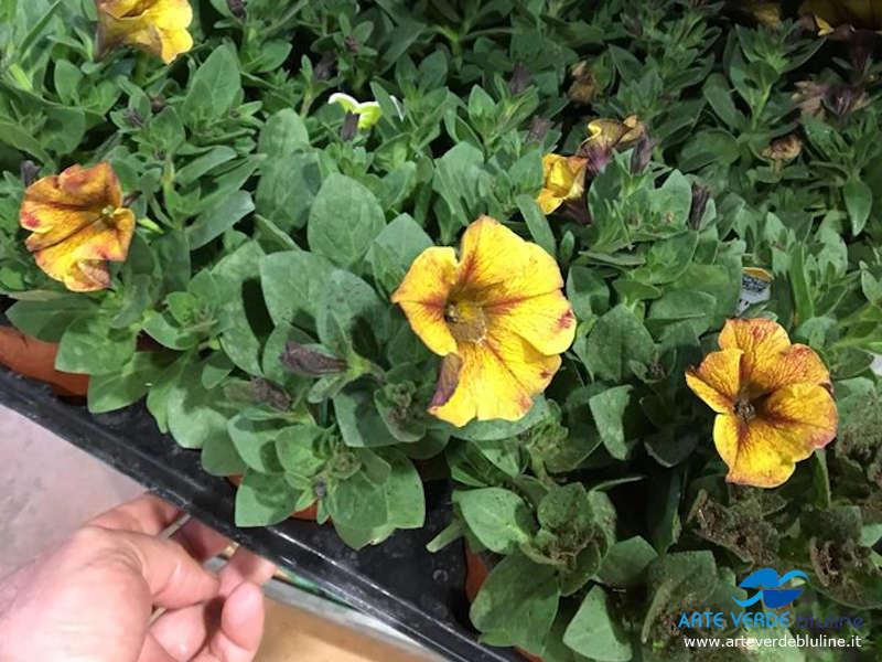 Petunia (annuali)